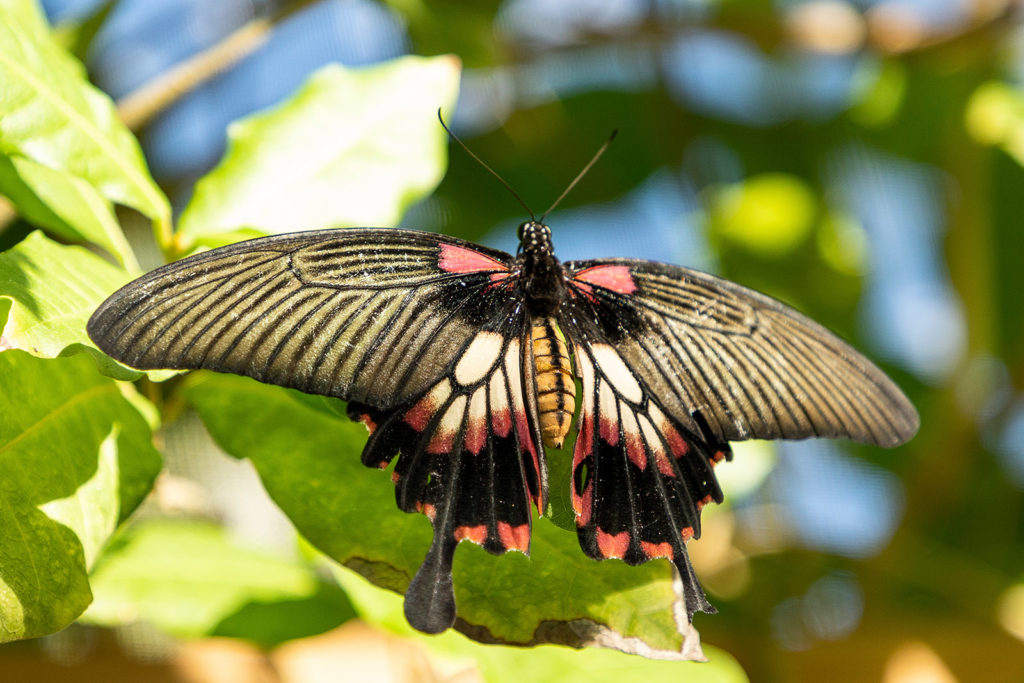 Schmetterlingsfarm auf Aruba