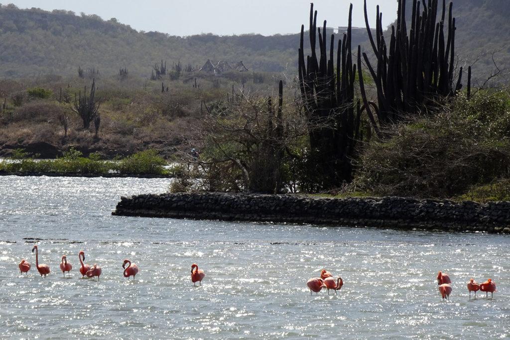 Flamingos auf Curacao auf der Jan Kok Plantage