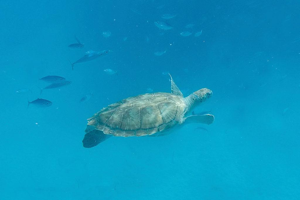 Schildkröte im karibischen Meer auf Barbados