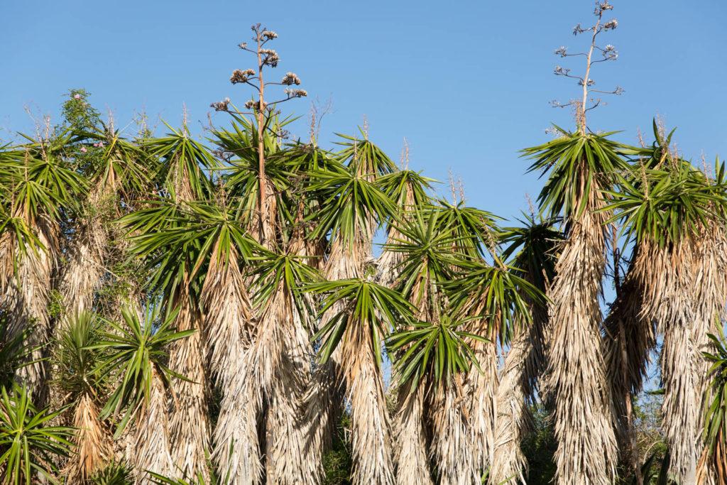 Palmen am Strand von Marina del Este